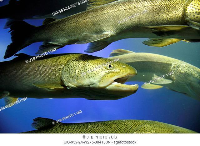 Japan, Hokkaido, Kitami, Ito, Big fish in aquarium