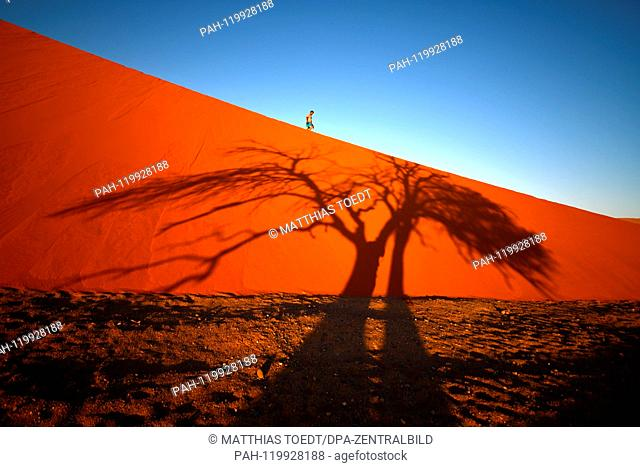 Shortly after sunrise, an acacia casts its shadow over a dune in Sossusvlei, a tourist in the background descends from the dunes, taken on 01.03.2019
