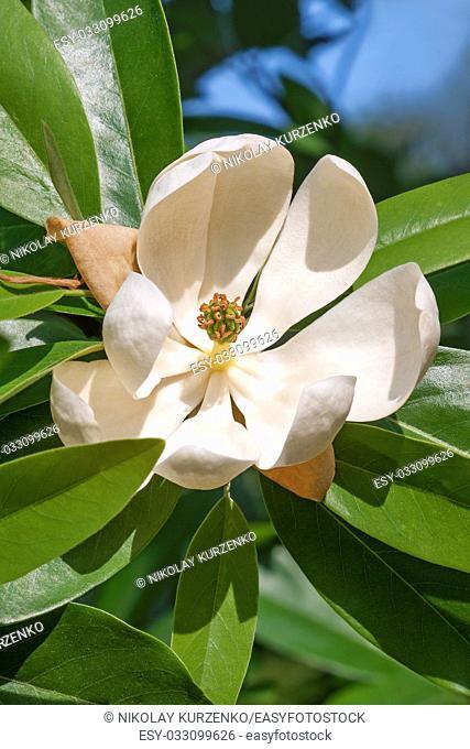 Sweetbay magnolia (Magnolia virginiana). Called Sweetbay, Laurel magnolia, Swampbay, Swamp magnolia, Whitebay and Beaver tree also