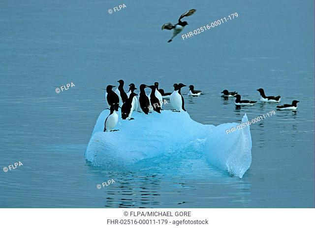 Brunnich's Guillemot Uria lomvia group on ice floe, Svalbard