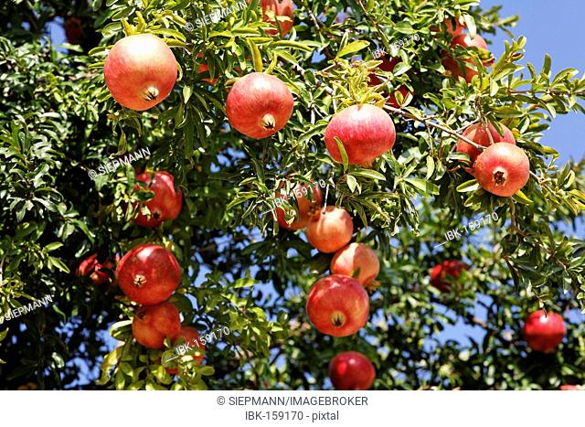 Pomegranate (Punica granatum), Crete, Greece