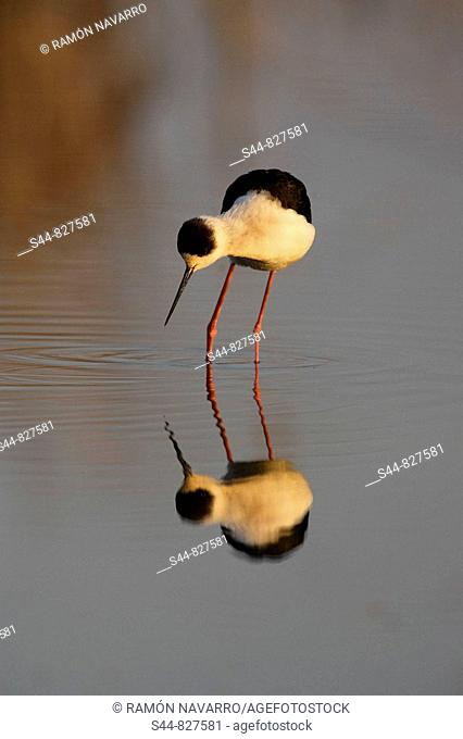 Black-winged Stilt (Himantopus himantopus), Doñana National Park. Andalucia, Spain