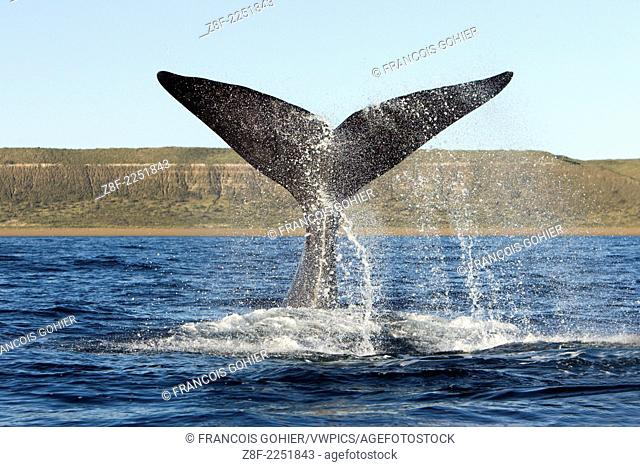 Southern Right whale: tail-lobbing.Eubalaena australis.The whale raises its tail and slams it down repeatedly on the surface of the sea