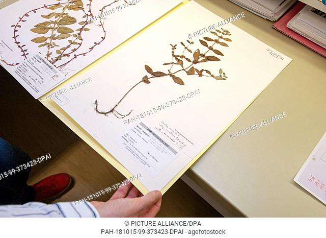 12 October 2018, Austria, Vienna: Polei mint from the herbarium of the Institute of Botany in Vienna. With the preserved plants