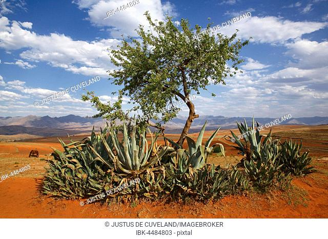 Barren landscape with agaves in the mountainous highlands of Lesotho, Africa
