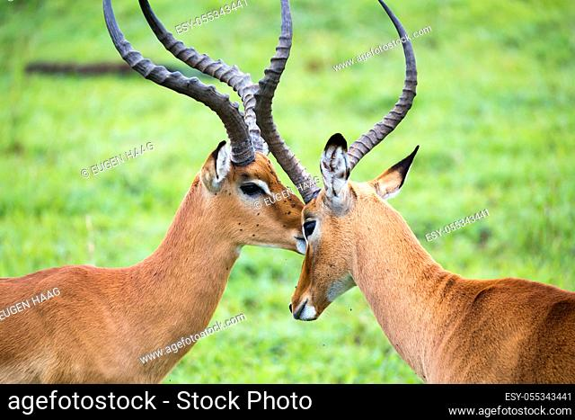 An Impala family on a grass landscape in the Kenyan savannah