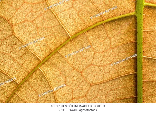 Leaf Vein and Cell Structure Detail in Botanical Garden Erfurt. Germany