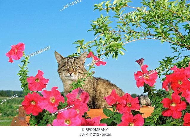 domestic cat - sitting between flowers