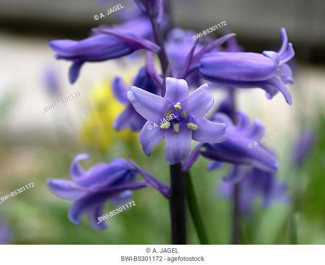 Atlantic bluebell (Hyacinthoides non-scripta, Endymion non-scriptus, Scilla non-scripta), detail of an inflorescence