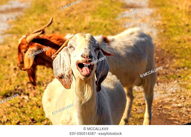 A picture of an off-white Nubian Goat appearing to laugh uncontrollably with teeth and tongue showing. Image taken on an early Fall Alabama morning during peak...