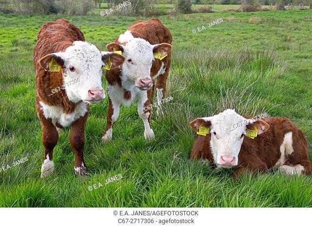 Hereford calves in meadows near Aylsham in Bure Valley, Norfolk, England, UK
