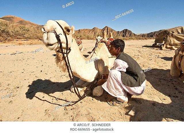 young bedouin sitting with dromedary camel, Hurghada, grey desert, Egypt, Africa
