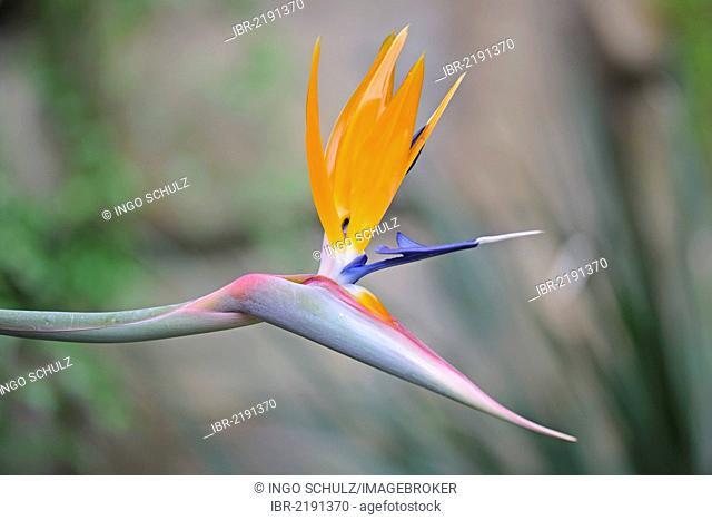 Strelitzia, Crane Flower or Bird of Paradise (Strelitzia reginae), native to South Africa