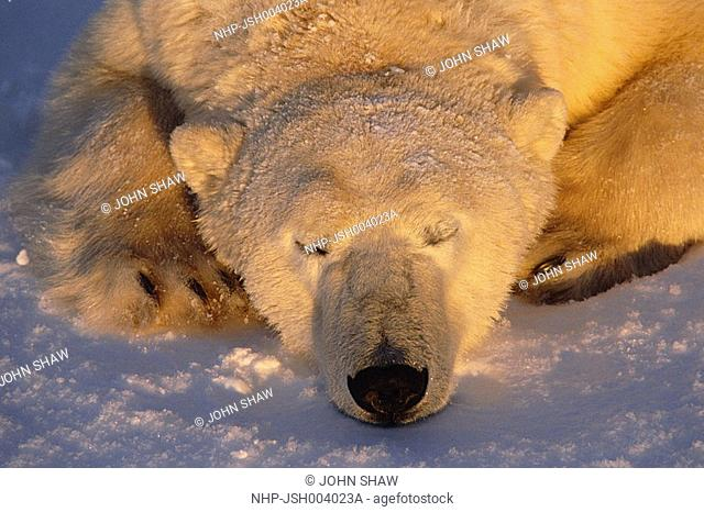 POLAR BEAR sleeping at sunrise Ursus maritimus Churchill, Manitoba, Canada
