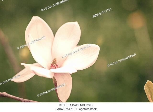 Close-up of a single magnolia blossom (Magnolia)