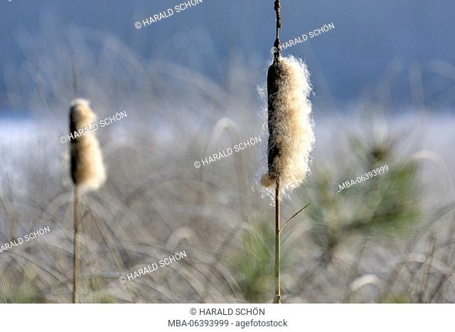 Germany, Thuringia, Gehren, pond, lake, burlrushes, Typha, seed dispersal, Thuringian forest, silhouette, back light, copy space
