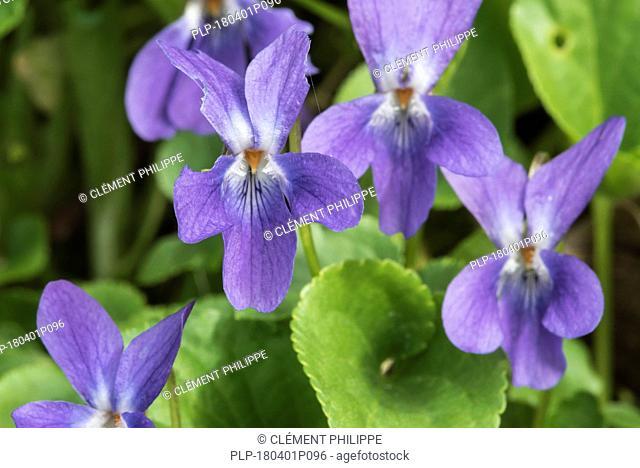 Early dog-violet / pale wood violet (Viola reichenbachiana / Viola sylvestris) in flower in spring