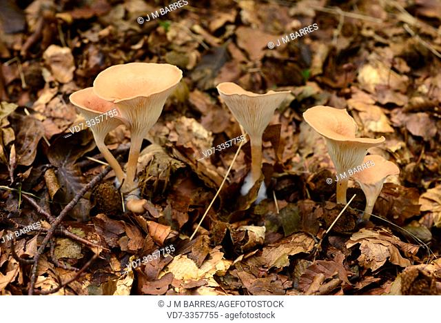Aniseed cockleshell (Lentinellus cochleatus) is an edible medicinal mushroom that grows in deciduous forests. This photo was taken in Montseny Biosphere Reserve