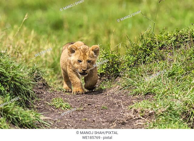 Lion cub walking straight to the camera