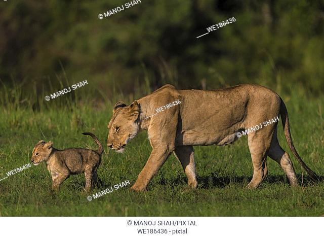 lions - Cub leading lioness on a walkabout - Masai Mara National Reserve, Kenya