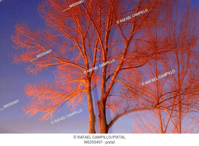 Poplars in the evening in winter. Osseja, Midi-Pyrénées, France