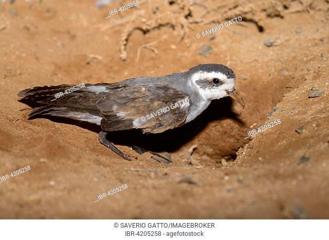 White-faced Storm Petrel or Frigate Petrel (Pelagodroma marina), adult at nest entrance, Boavista, Cape Verde