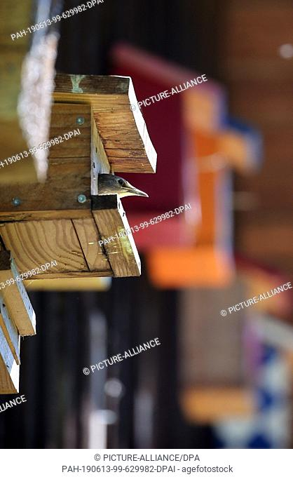 13 June 2019, Bavaria, Friesenried: A bird sits in a birdhouse between other, partly colourful, birdhouses, which are attached to the outside wall of a farm
