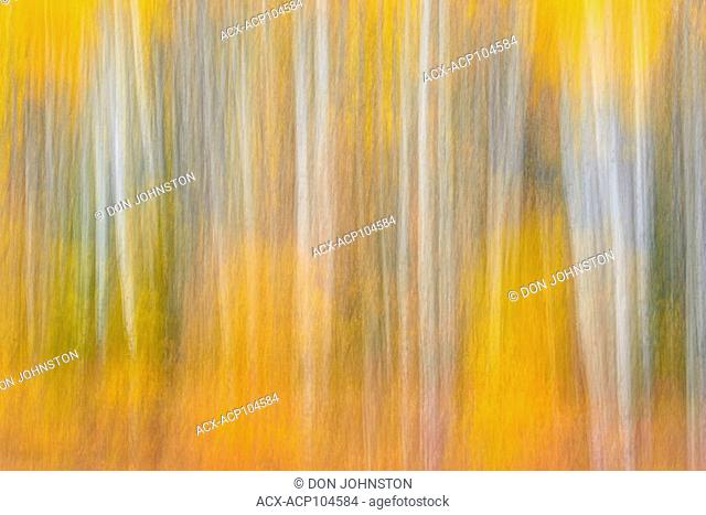 Aspen trees in autumn foliage at the edge of Highway 35, Paddle Prairie, Alberta, Canada