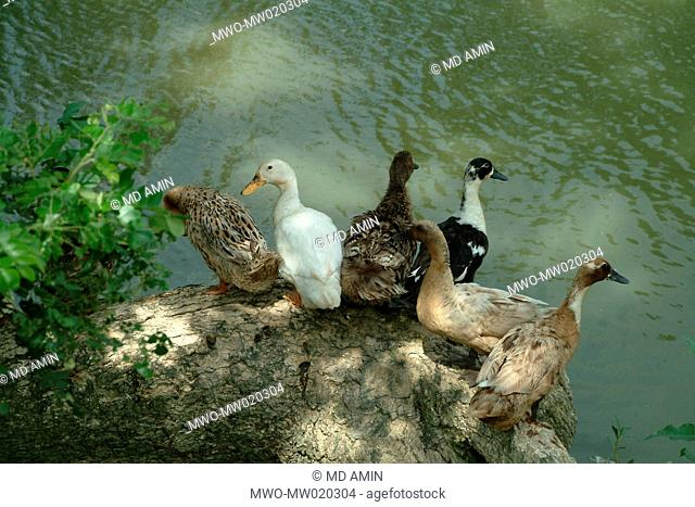Ducks by the side of a pond Mymensingh, Bangladesh June 26, 2009
