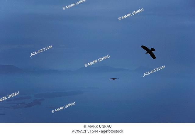 Crows Corvus brachyrhynchos in the dusk mist over Mount Erskine, Saltspring Island, British Columbia, Canada