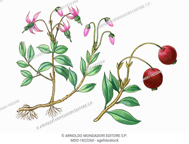 Cranberry (Vaccinum oxycoccus), by Giglioli E., 20th Century, ink and watercolour on paper. Whole artwork view. Flowers and leaves of the plant