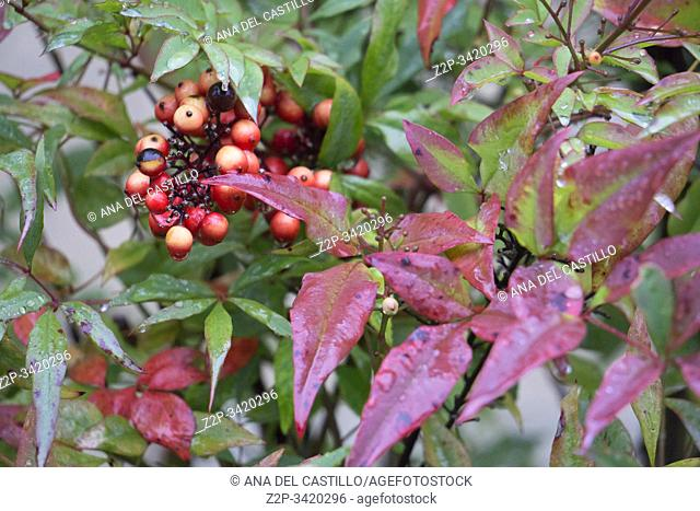 Chipping Campdem Cotswolds Gloucestershire UK . Wet holly twig with berries in garden