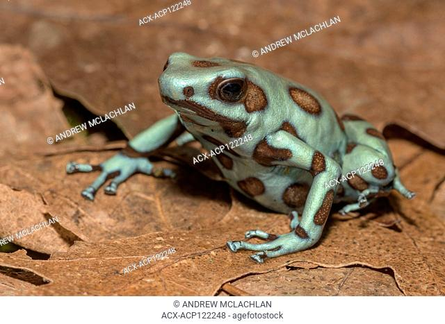 Dendrobates auratus 'microspot' Panama - captive