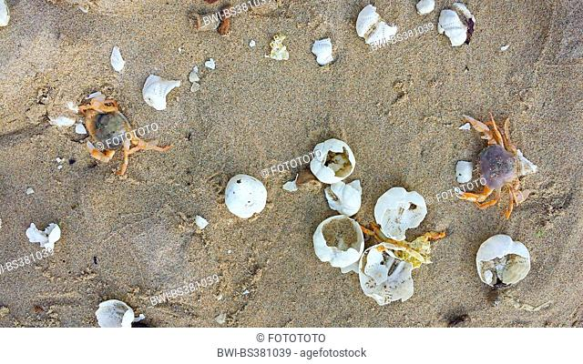 sea urchins, echinoids (Echinoidea), crabs searching food between urchin shells on the North Sea beach, Netherlands