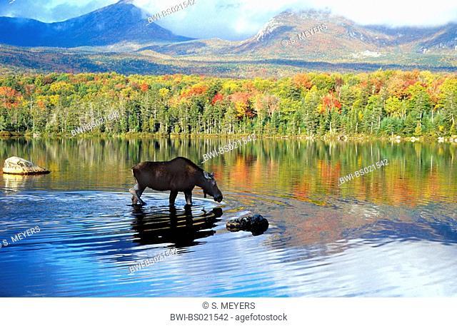 Eastern moose, Taiga moose, American moose, Canadian Moose, Northeastern moose (Alces alces americana, Alces americana), cow moose feeding aquatic plants, USA