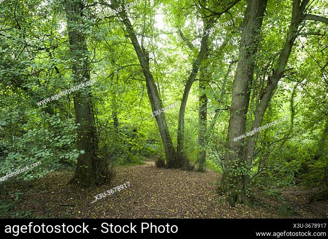 A broadleaf woodland in early autumn at Priors Wood, Portbury, North Somerset, England