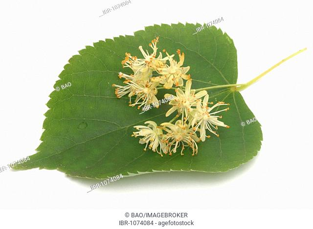 Small-leaved Lime (Tilia cordata), blossoms, used for medication