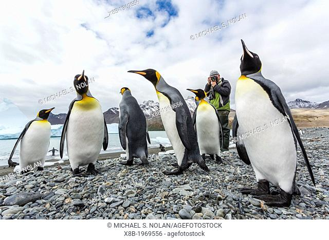 Lindblad Expeditions EL Bud Lenhausen photographing king penguins in Fortuna Bay, South Georgia, South Atlantic Ocean