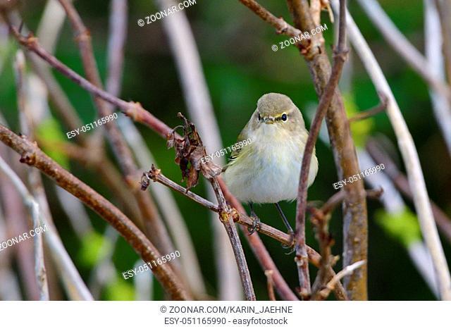 Fitis in einem busch. Willow warbler on a tree