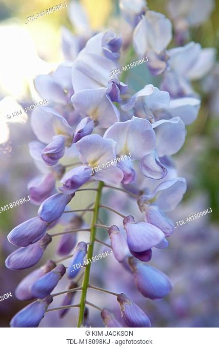 Wisteria flowers opening on a vine