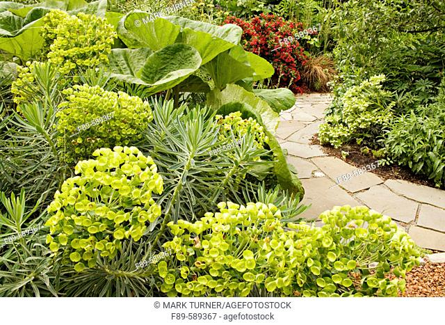 Dalmatian spurge & Giant Japanese Butterbur above flagstone path with 'Red Prince' Weigela background (Euphorbia characias ssp