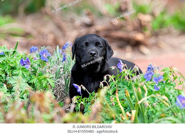 Labrador Retriever. Black puppy (8 weeks old) standing in a garden next to Cranesbill flowers. Germany