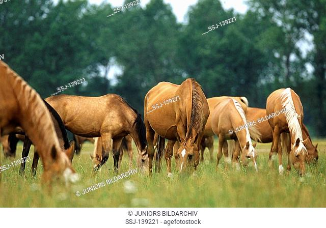 Kinsky horse - herd on meadow