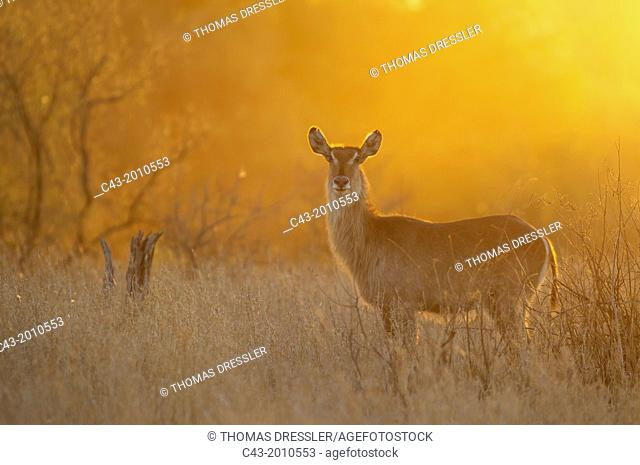Common Waterbuck (Kobus ellipsiprymnus) - Cow at sunset. Only bulls have horns. Kruger National Park, South Africa