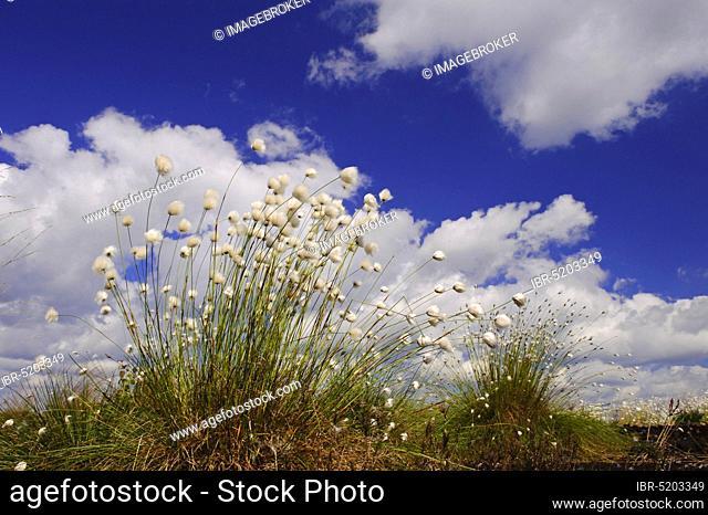 Vaginal cottongrass (Eriphorum vaginatum), fruiting, Goldenstedter Moor, Lower Saxony, Germany, Europe