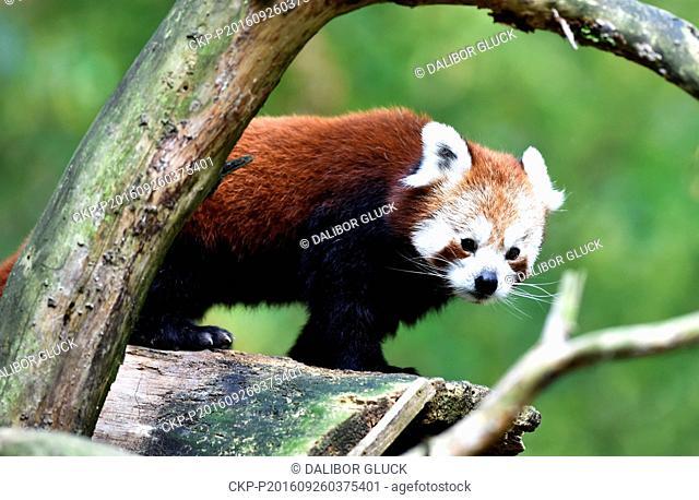Red panda cub stands on a tree in the zoo Zlin, Czech Republic, September 26, 2016. (CTK Photo/Dalibor Gluck)