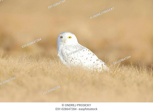 Bird snowy owl with yellow eyes sitting in grass