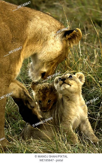 lioness with 2 cubs in Masai Mara. Kenya
