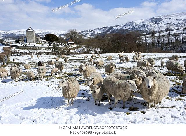 Sheep stand in a snowy field near Saint David's Church and the tiny Welsh hamlet of Llanddewi'r Cwm in Powys, UK