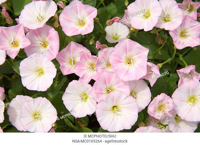 Hedge-Bindweed Calystegia sepium
